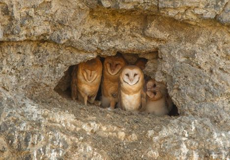 paul bannick's photo of barn owls in a shallow cave